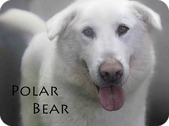 Alaskan Malamute Mix Dog for adption in Hamilton, Montana - Polar Bear