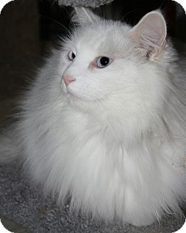 Domestic Longhair Cat for Sale in Plainville, Massachusetts - Nimbus
