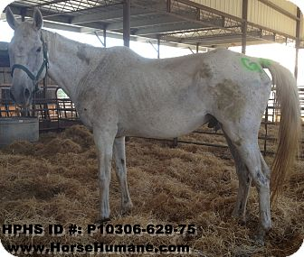 Quarterhorse Mix for Sale in Bangor, California - Tucker