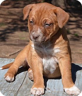 Blue Heeler/Boxer Mix Puppy for Sale in Washington, D.C. - Carrie