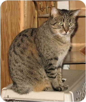 Domestic Shorthair Cat for adoption in Cincinnati, Ohio - Lydia