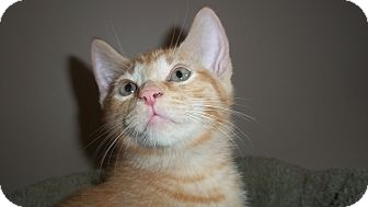 Domestic Shorthair Cat for adoption in Waxhaw, North Carolina - Caramel