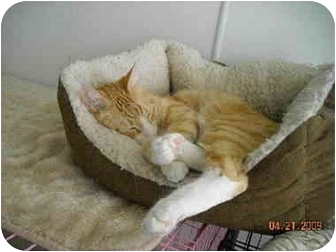 Domestic Shorthair Cat for adoption in Kenosha, Wisconsin - Bailey