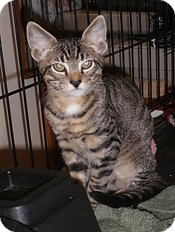 Domestic Shorthair Cat for adoption in Stafford, Virginia - Doc