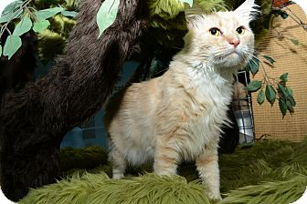 Domestic Mediumhair Cat for Sale in New York, New York - Milo