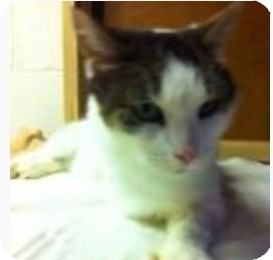 Hemingway/Polydactyl Cat for adoption in Shippenville, Pennsylvania - Thumbs