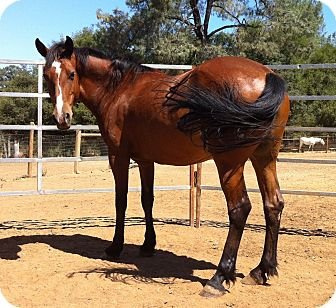 Quarterhorse Mix for Sale in El Dorado Hills, California - Thea