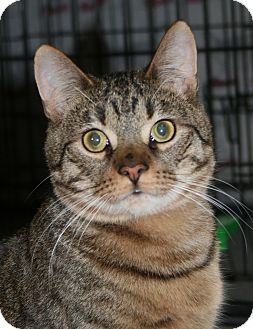 Domestic Shorthair Cat for adoption in Plainville, Massachusetts - Simon