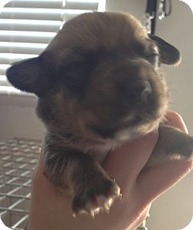 Cardigan Welsh Corgi/Corgi Mix Puppy for Sale in Lancaster, Ohio - Kit
