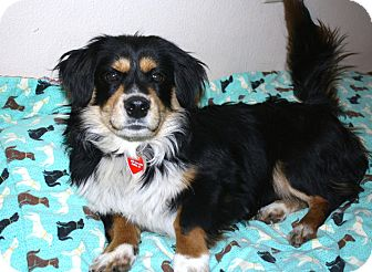 Cavalier King Charles Spaniel/Corgi Mix Dog for Sale in Bellflower, California - Jaspar