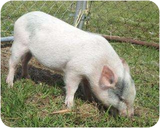 Pig (Potbellied) for adoption in Palm City, Florida - Blue
