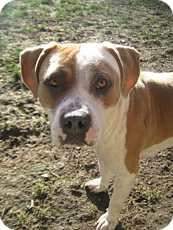 American Bulldog/American Pit Bull Terrier Mix Dog for adption in Puyallup, Washington - Reba