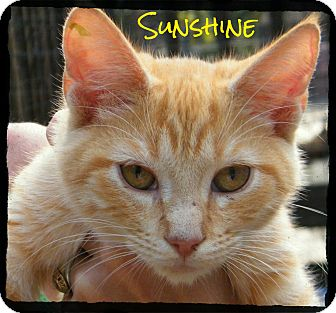 Domestic Shorthair Kitten for Sale in manasquam, New Jersey - Sunshine