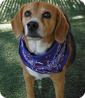 Beagle Mix Dog for adption in Phoenix, Arizona - Mozart