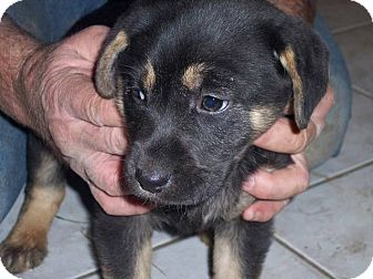 German Shepherd Dog/Labrador Retriever Mix Puppy for Sale in Germantown, Maryland - Greta