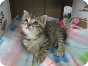 Domestic Shorthair Kitten for Sale in Oceanside, New York - Stewie & Alvin
