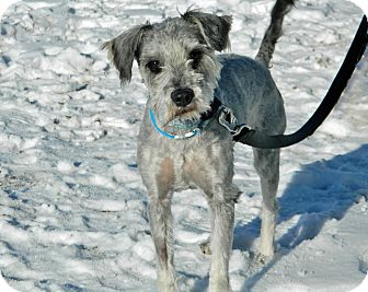 Schnauzer (Miniature) Mix Dog for Sale in Cheyenne, Wyoming - Abel
