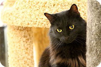 Bombay Cat for adoption in Mesa, Arizona - Anya