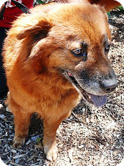 Chow Chow Mix Dog for Sale in Chula Vista, California - Lucy