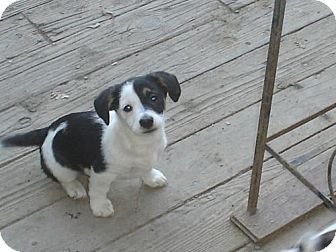 Jack Russell Terrier/Corgi Mix Puppy for Sale in Atascadero, California - Panda
