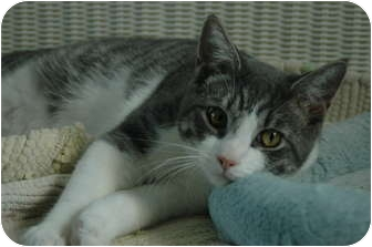 Domestic Shorthair Kitten for adoption in Oyster Bay, New York - R2D2