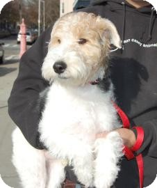 Fox Terrier (Wirehaired) Puppy for Sale in Brooklyn, New York - Sebastian
