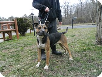 Shepherd (Unknown Type) Mix Dog for adption in Tinton Falls, New Jersey - Smores