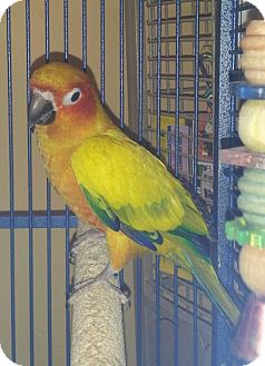 Conure for Sale in Punta Gorda, Florida - JJ