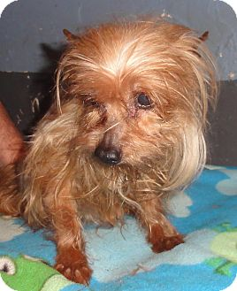 Yorkie, Yorkshire Terrier Dog for adption in Oklahoma City, Oklahoma - Kiwi