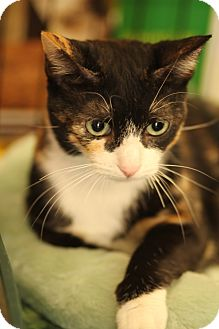 Calico Cat for Sale in La Canada Flintridge, California - Cleo