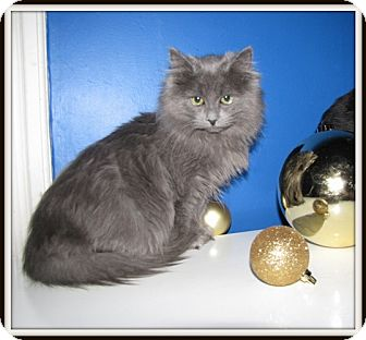 Persian Kitten for Sale in Mississauga, Ontario, Ontario - Blue Pearl