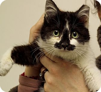 Domestic Shorthair Cat for Sale in Chicago, Illinois - Tiny Stache