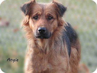 Shepherd (Unknown Type) Mix Dog for Sale in Hamilton, Montana - Angie