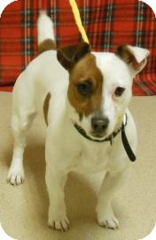 Jack Russell Terrier Mix Puppy for Sale in Gary, Indiana - Mary