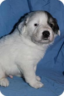 Great Pyrenees Mix Puppy for Sale in Stilwell, Oklahoma - Huck