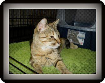 Domestic Shorthair Cat for Sale in Medford, Wisconsin - TIA
