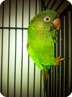 Conure for Sale in Punta Gorda, Florida - George