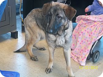 German Shepherd Dog Dog for adption in Greeneville, Tennessee - Star