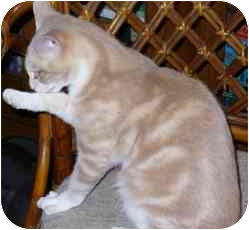 Domestic Shorthair Cat for adoption in Fayette, Missouri - Aramis