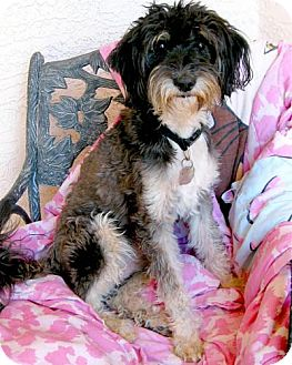 Schnauzer (Standard)/Terrier (Unknown Type, Medium) Mix Dog for adption in Chandler, Arizona - Angel