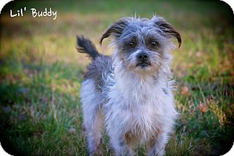 Shih Tzu/Yorkie, Yorkshire Terrier Mix Dog for Sale in Wilmington, Delaware - Buddy