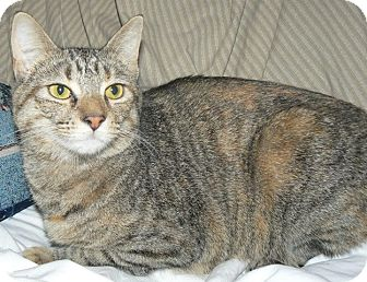Domestic Shorthair Cat for adoption in Apex, North Carolina - Wednesday
