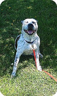 Pit Bull Terrier/Dalmatian Mix Dog for adption in Auburn, New York - Pepper