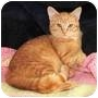 Adopt A Pet :: z(CL) Tiger - Smyrna, TN