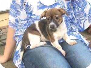 Corgi/Terrier (Unknown Type, Small) Mix Puppy for Sale in Sussex, New Jersey - Dolly