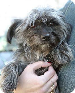 Cairn Terrier Mix Dog for Sale in Rockaway, New Jersey - Dancer