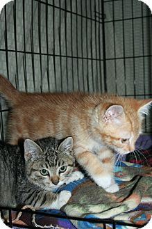 Domestic Shorthair Kitten for Sale in SantaRosa, California - Antonio