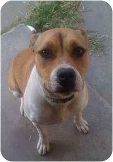 Boxer/American Pit Bull Terrier Mix Dog for adption in Bellflower, California - Stella