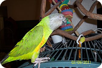 Poicephalus (including Senegal and Meyer's) for adoption in Lexington, Georgia - Brightsides