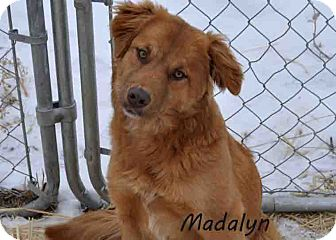 Golden Retriever Mix Puppy for Sale in Hamilton, Montana - Madalyn